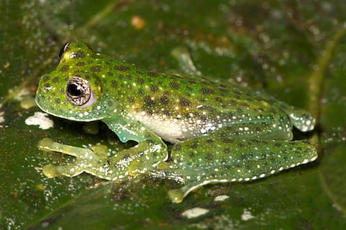 Centrolenidae- Centrolene huilense