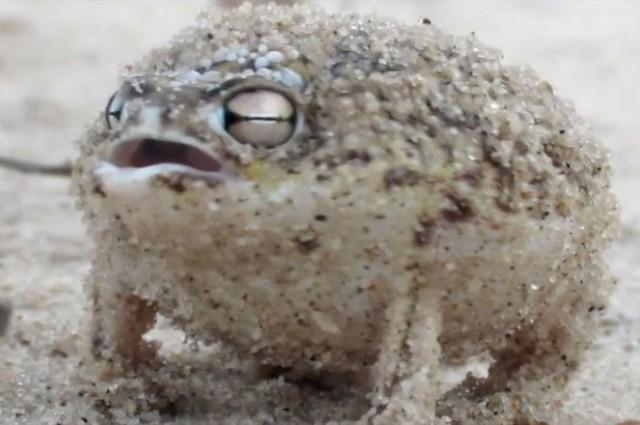 desert rain frog.jpg