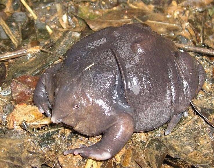 indian-purple-frog.jpg