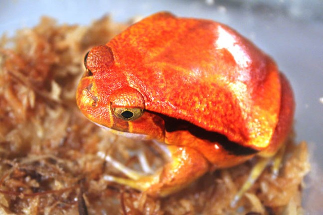 Tomato Frog by Wikiuser Firereptiles