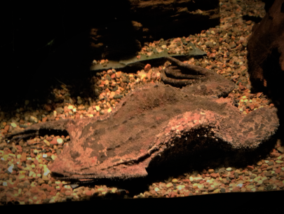 Suriname Toad (Pipa pipa)