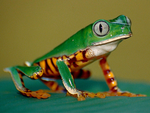 Tiger-Leg-Tree-Frog.png