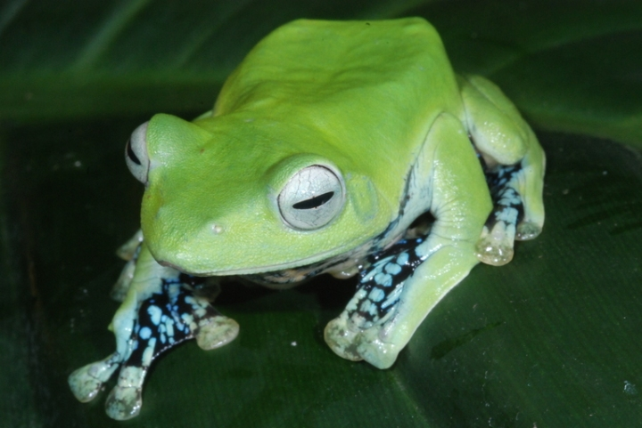 Norhayati's Gliding Frog by Dr. Peter Janzen