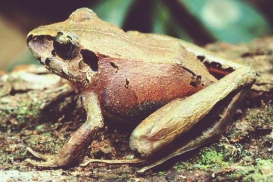 Steindachner's Robber Frog from Germano Woehl Jr.