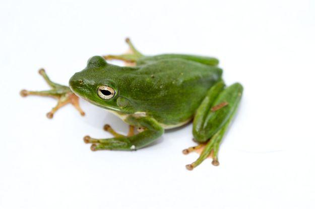1280px-green_treefrog