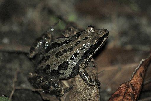 2003-11-12_southern-chorus-frog2
