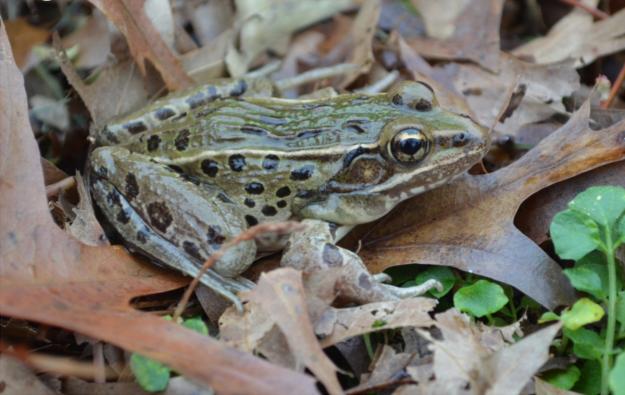 atlantic-coast-leopard-frog