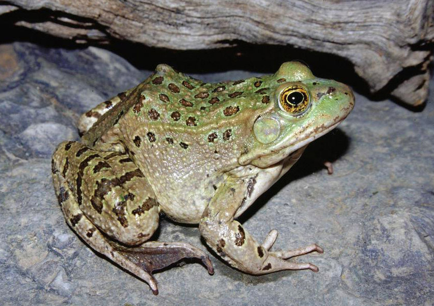 Chiricahua_leopard_frog_01.jpg
