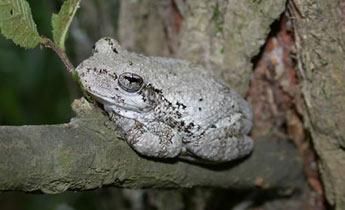 copes-gray-treefrog