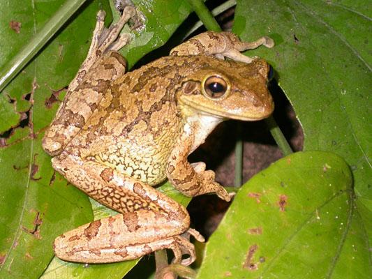 cubantreefrog