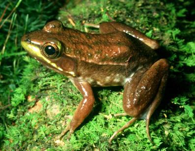 floridabogfrog