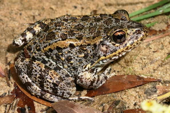 gopher-frog-everglades-tours