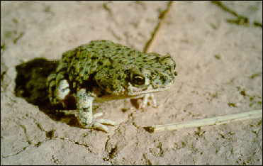 GreenToad