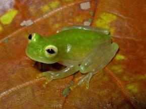 Fleischmann's glass frog by Mauricio Rivera Correa