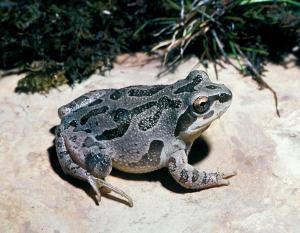 illinois_chorus_frog