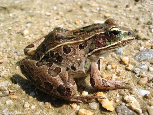 jasongibson_southernleopardfrog
