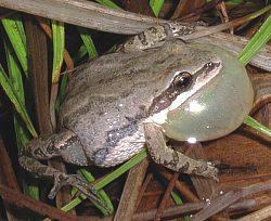 midlandchorusfrog