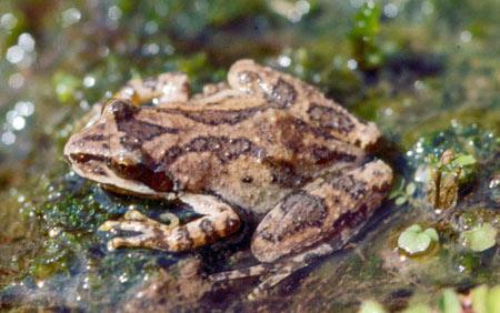 mtnchorusfrog