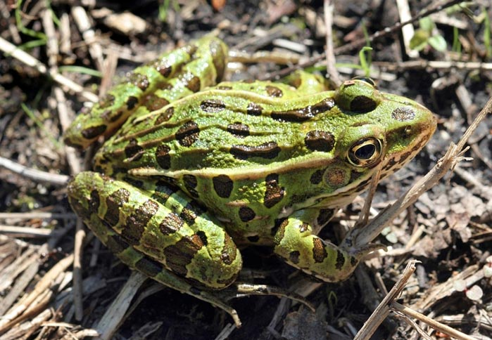 northernleopardfrog