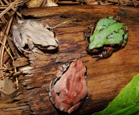 ornatechorusfrog1