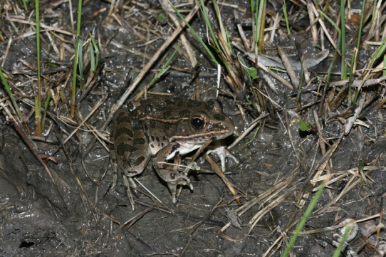 plains leopard frog