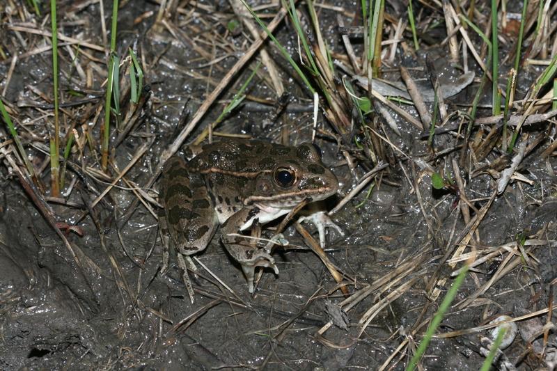 plainsleopardfrog