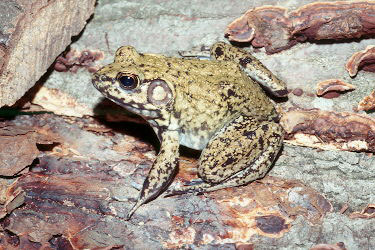 riverfrog