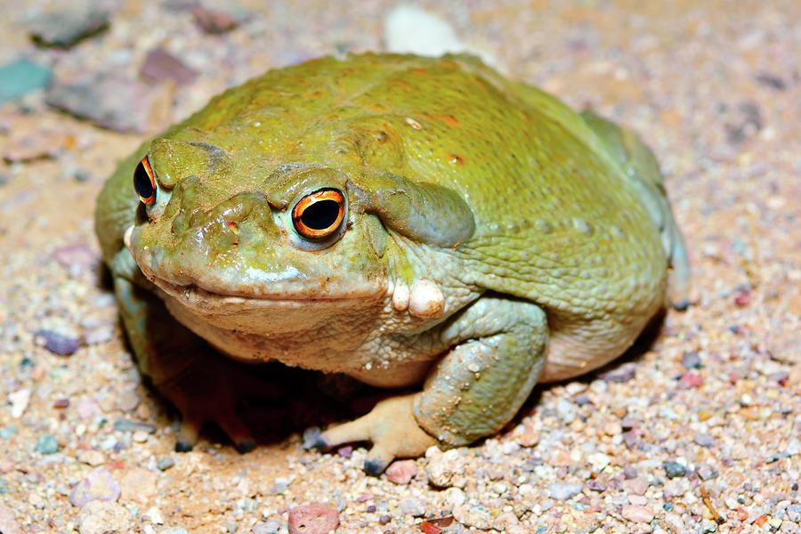 sonoran-desert-toad-2-steven-love