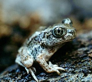 Great Basin Spadefoot by the NPS