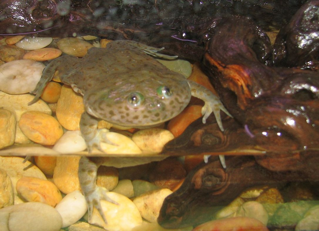 1280px-Budgett's_Frog