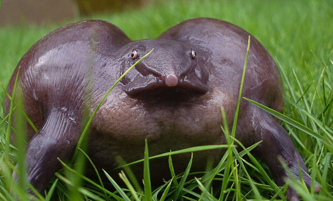 female-purple-frog