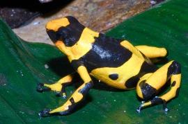 lehmanni-yellow
