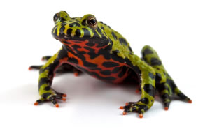 fire-bellied-toads_1-3