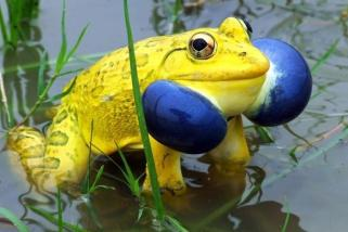 Indian Bullfrog by susilsaurav