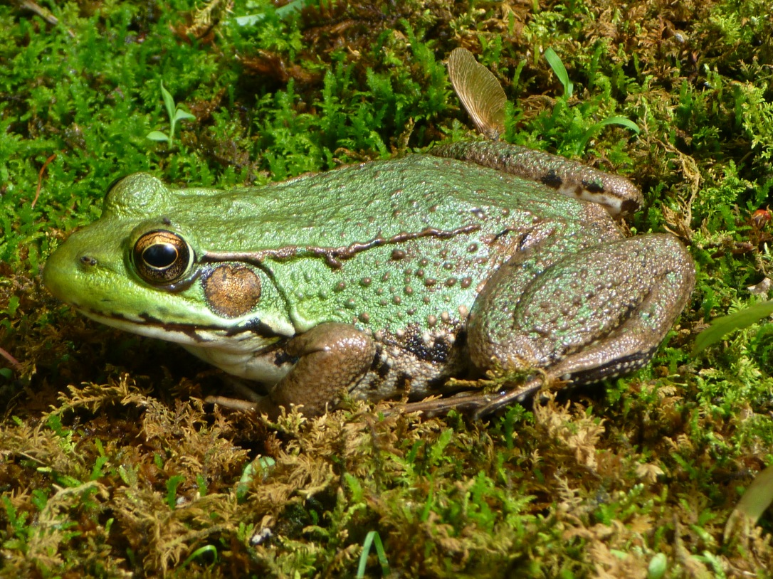northern_green_frog_-_tewksbury_nj
