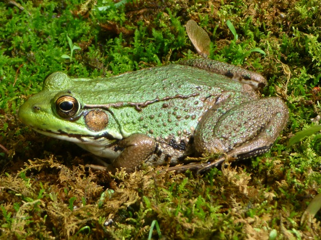 northern_green_frog_-_tewksbury_nj