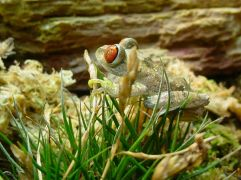 Parker's forest tree frog by Manuel Werner