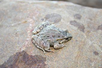 Moroccan Painted frog by Roberto García-Roa