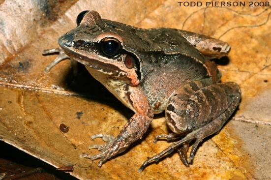 Leptodactylus mystaceus by Todd Pierson