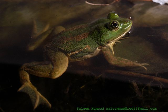 Indian Green Frog by Shyamal