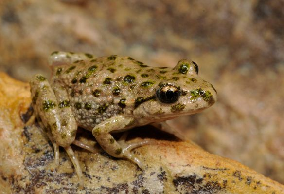 Iberian Parsley Frog by Benny Trapp