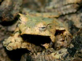 Banded horned treefrog by Brian Gratwicke