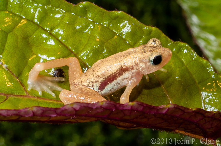 Nectophrynoides asperginis (Kihansi Spray Toad)