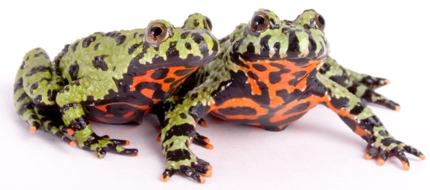 fire-bellied-toads-shutterstock_1724199