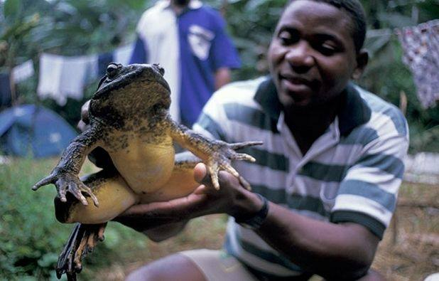 the-largest-frog-in-the-world