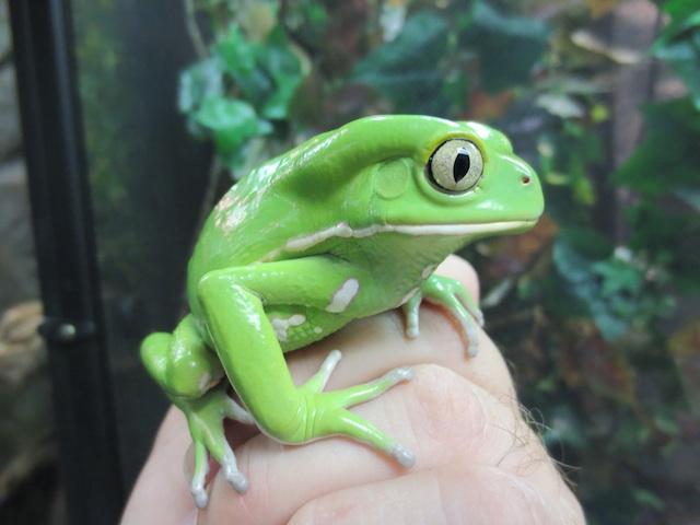 waxyfrog1