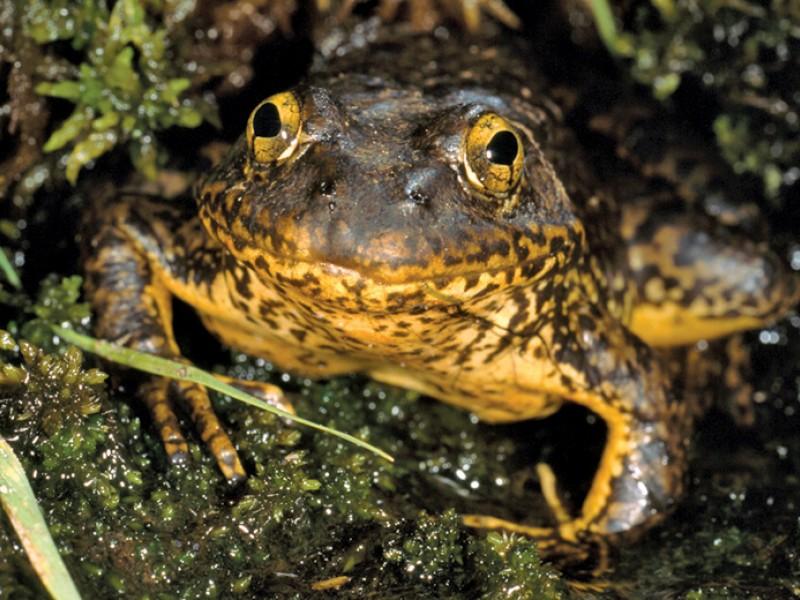 mtnyellowleggedfrog