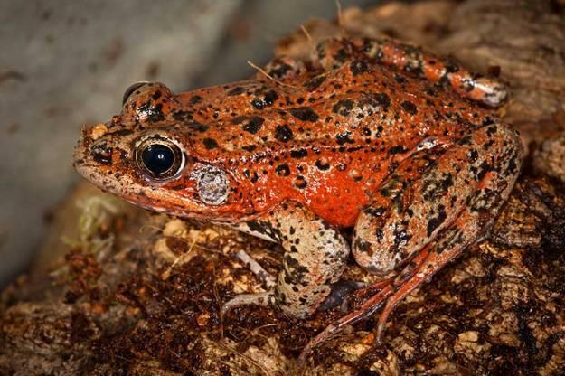 redleggedfrog
