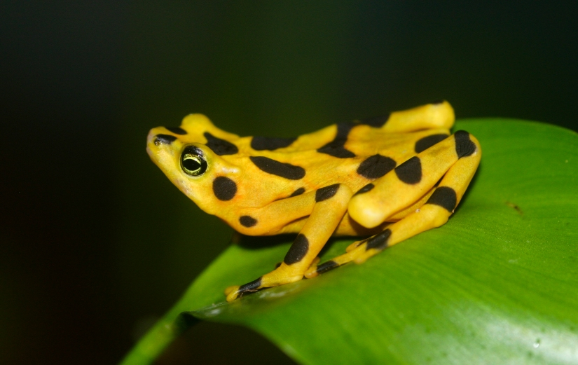 panamaniangoldenfrog