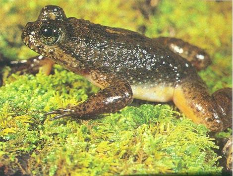 gastricbroodingfrog